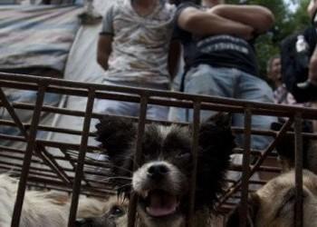 Deși China se luptă să oprească începerea valului II COVID-19, chinezii se îngrămădesc la Târgul din Yulin, unde se consumă carne de câine
